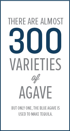 There are almost 300 varieties of agave.